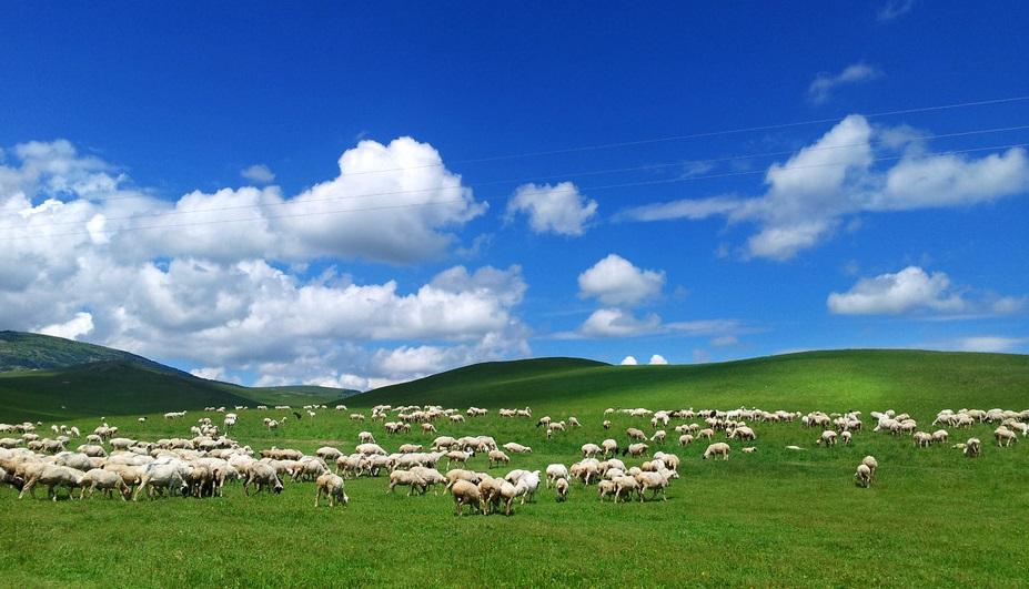 蒙古国捐赠的3万只羊,去向终于明确了:湖北人民的肚子里