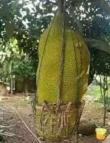 世界上最大的水果都在这里,一个都够你吃到怀疑人生!