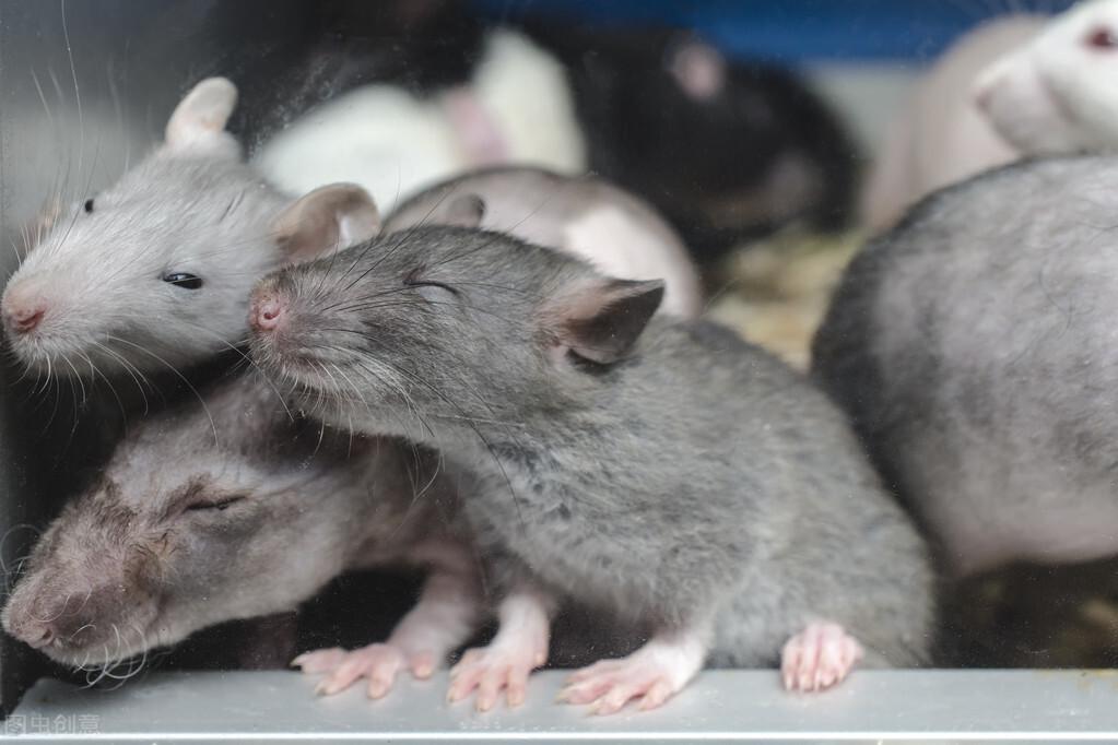 8只老鼠的乌托邦,持续1588天的人口增长实验!结果到底怎么样?