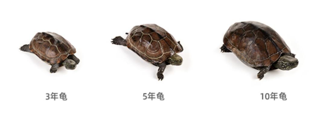 天然健康 一只十年龟,只做6碗龟苓膏