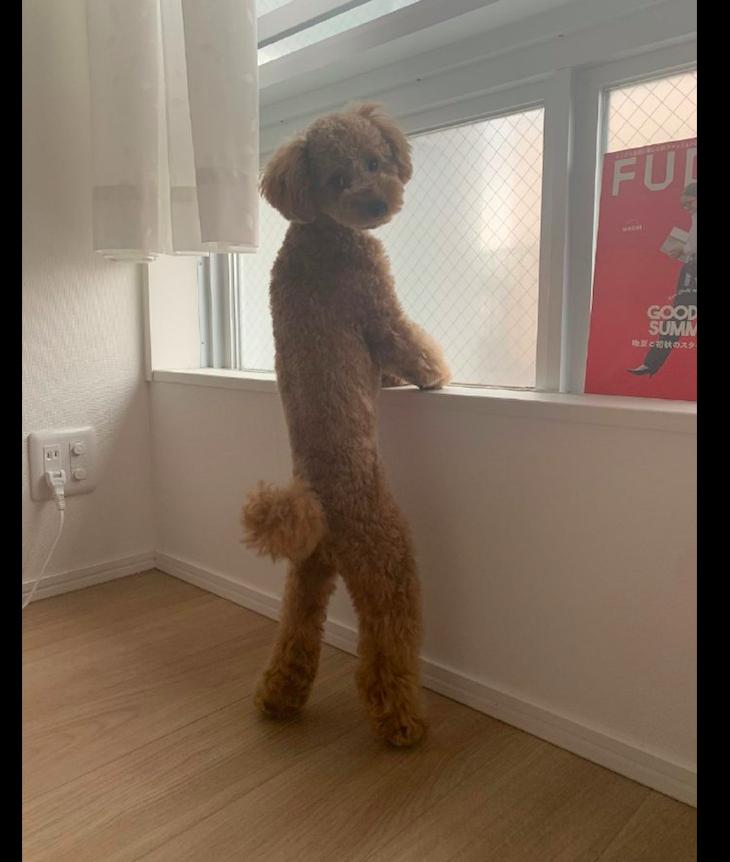 主人早上醒来,看到泰迪站在窗台边上看风景,这是要成精了吗?