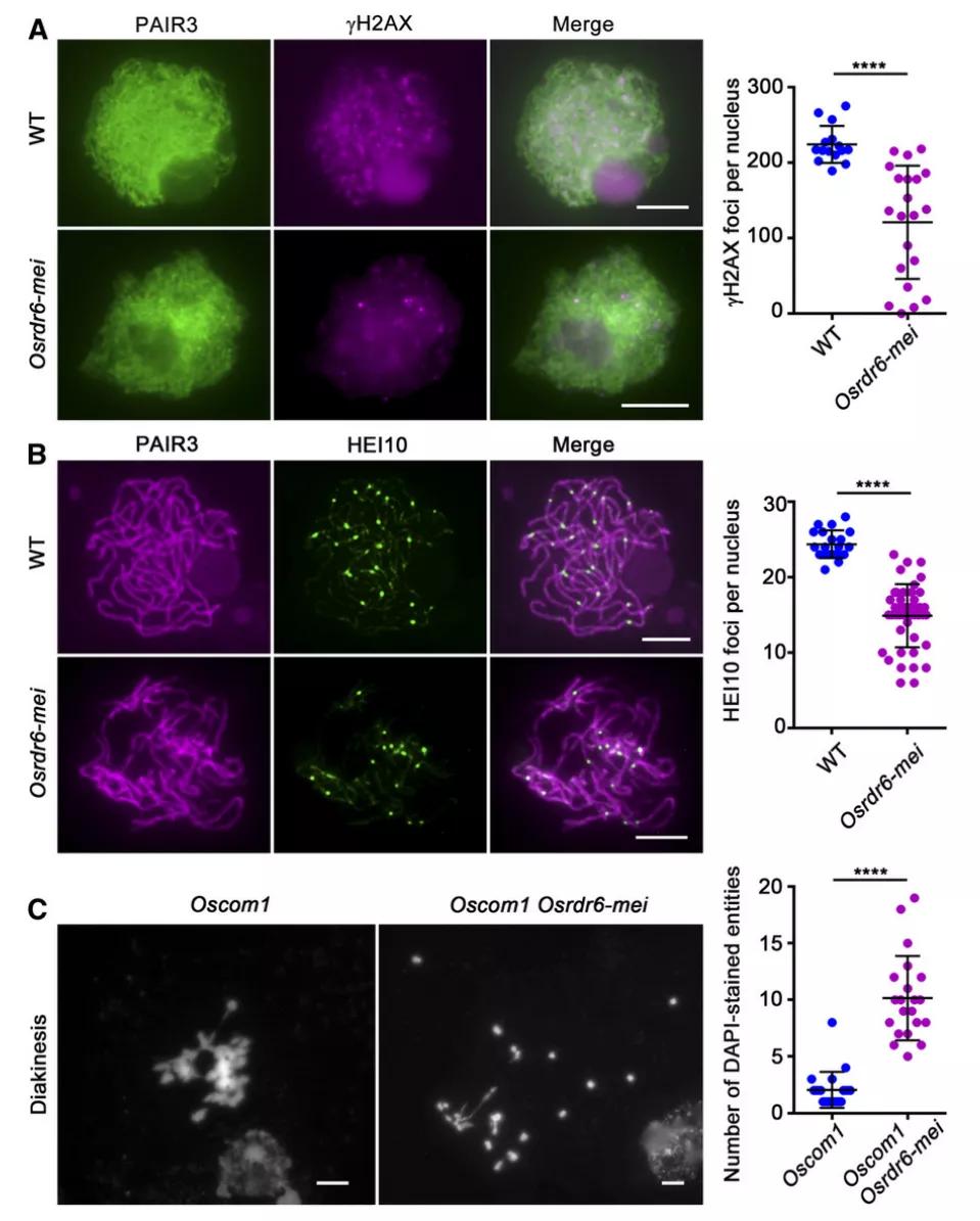 项目文章PC:水稻 RDR6 在减数分裂DNA双链断裂形成中的作用机制