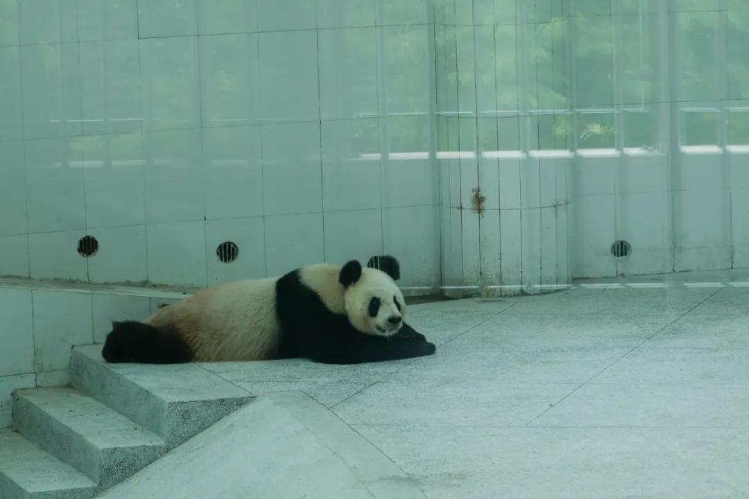 """家门口可以看大熊猫?还有世界唯一棕色大熊猫""""七仔""""?"""