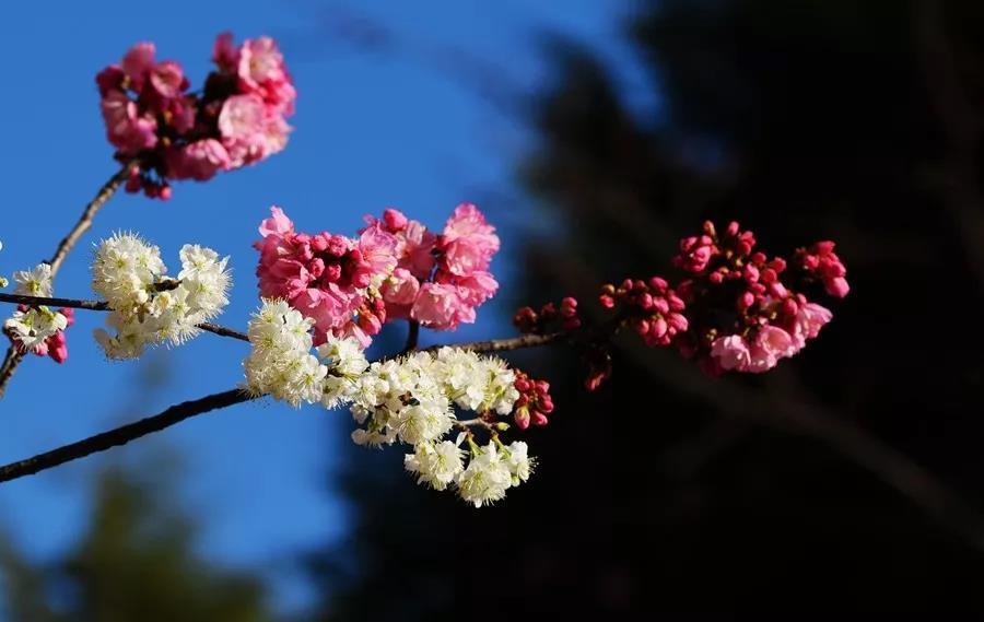 """云南冬天""""网红""""花,昆明大理腾冲处处可打卡"""