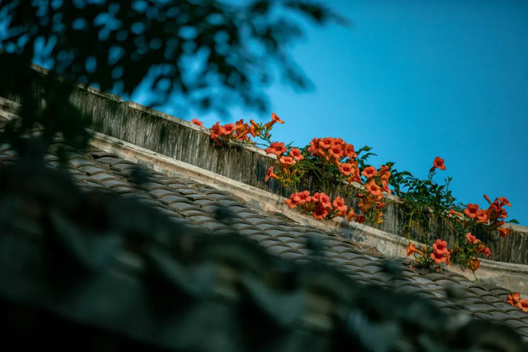 怒放的凌霄花!台儿庄古城城墙上的那一抹红