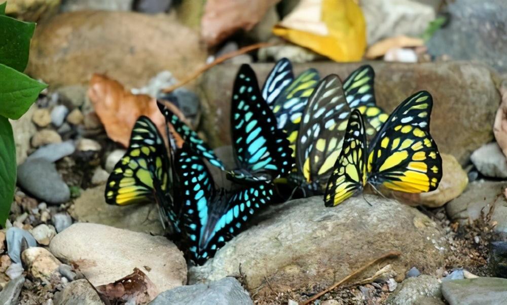 """云南红河""""蝴蝶大爆发"""",青虫化蝶多达上亿只,种类也是世界"""