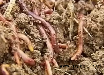 农业养殖:蚯蚓高产养殖技术