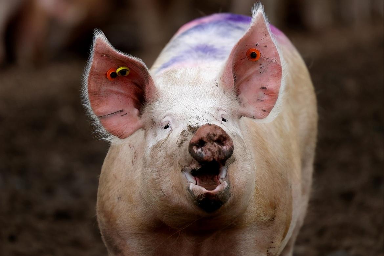 """猪价试探上涨,17地行情""""飘红"""",猪价要冲天大涨?3个坏消息"""
