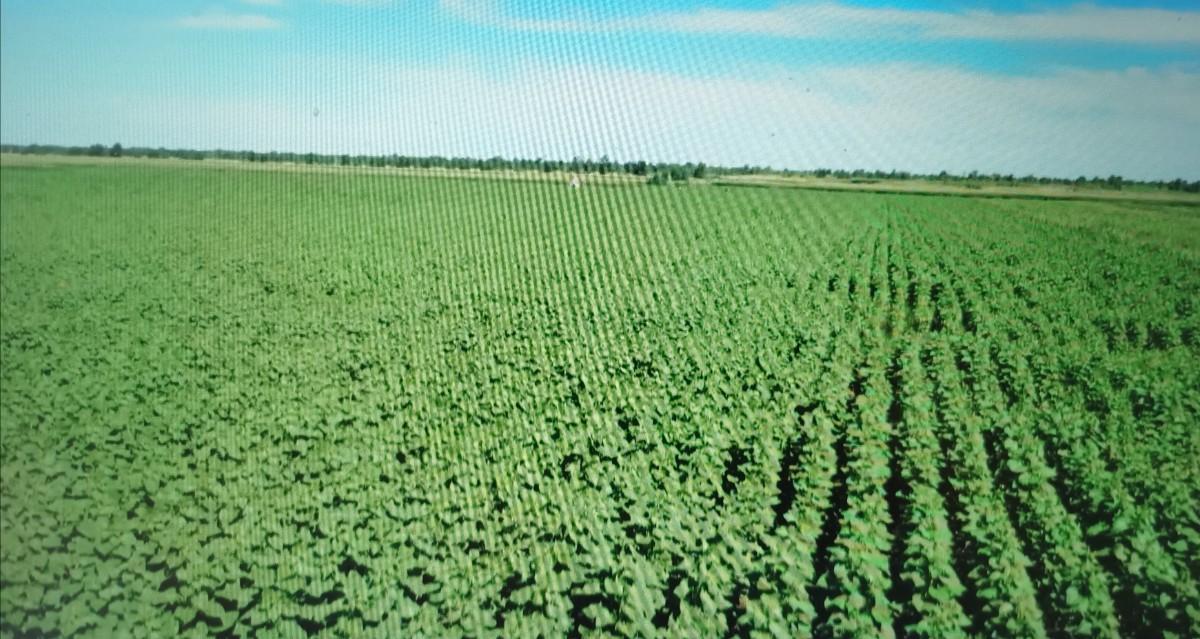 2万亩盐碱地变良田,内蒙古科左中旗向日葵、玉米长势喜人