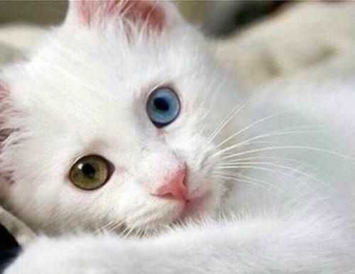 蓝眼睛的白猫,为何天生失聪?关于猫的眼睛还有多少是你不知道的
