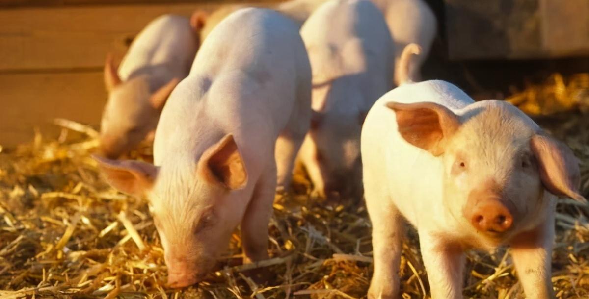 猪瘟的最佳治疗方法_面对猪瘟该如何预防