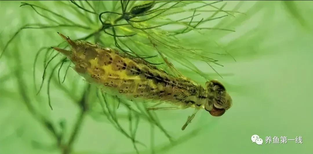 """蜻蜓幼虫——水虿:吃鱼凶猛,称为""""水中老虎"""",喻为""""吃鱼虎"""""""