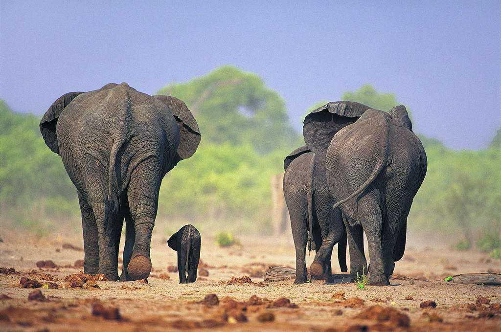 猛犸象灭绝了那么久,为什么被列为濒危动物?