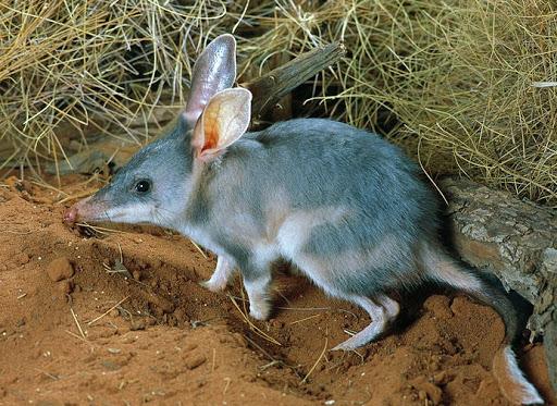 """2亿只野兔,200万只野猫,澳洲全境""""陷落"""",局势为何失控?"""