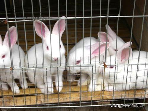 兔子養殖技術重點,告訴你如何養好兔?