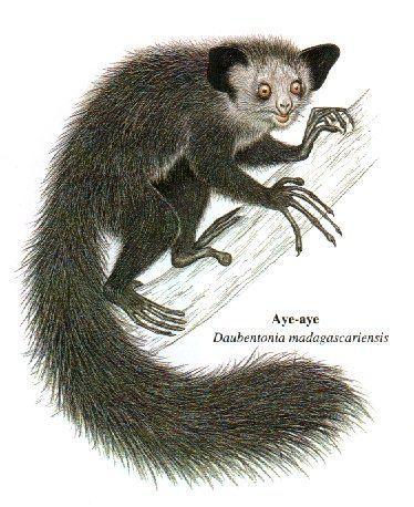 体型最小的人类近亲,形似老鼠,如今濒临灭