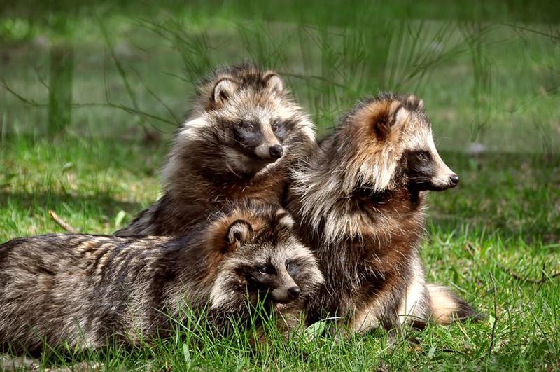 """被埋没的超级""""萌兽"""",长相酷似小浣熊,却是古老的犬科动物"""