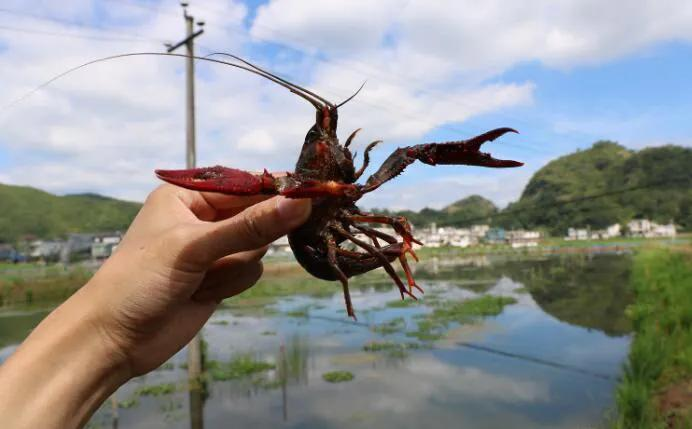 冬季养的小龙虾肉多饱满,10亩田一天卖200斤,有什么诀窍?