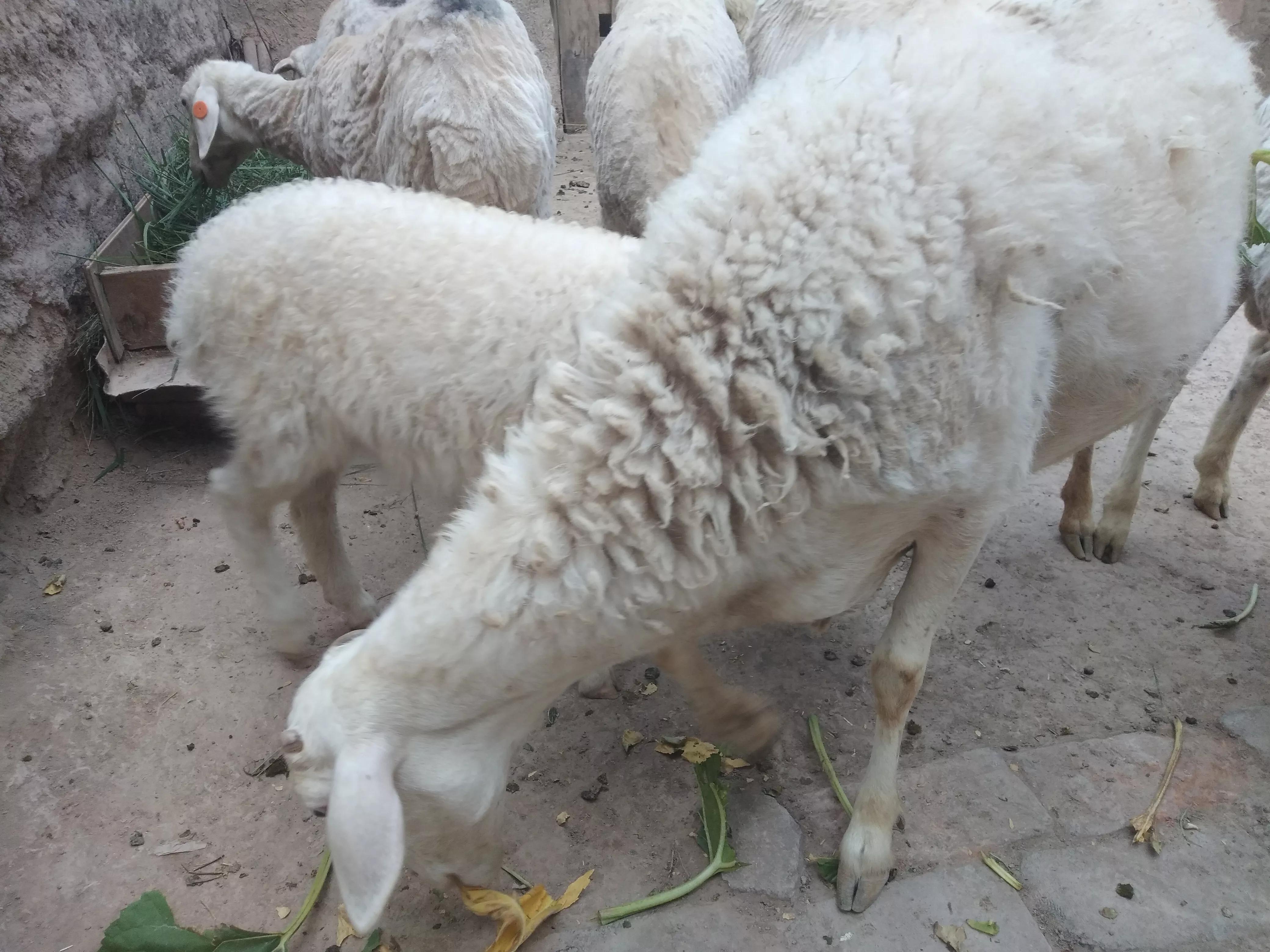 養100只羊的真實收入是多少?很多人不知道,80後小夥告訴你