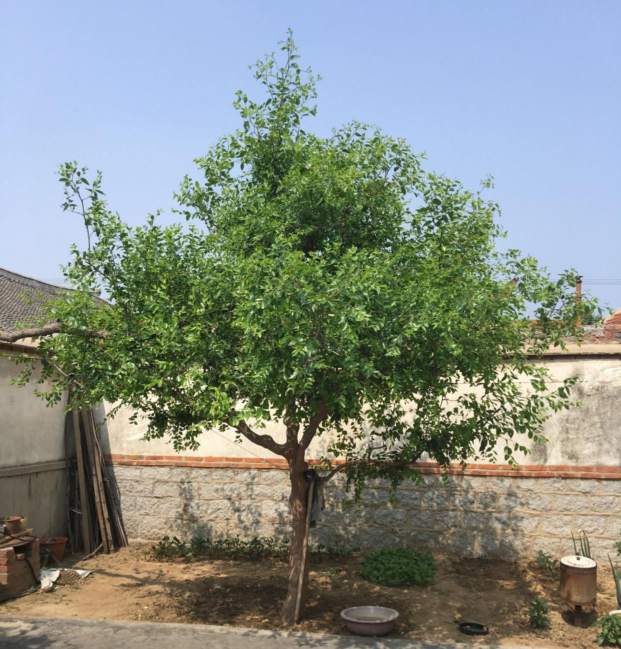 """院子里有空地就种这""""三种树"""",没地挤挤也要种,寓意深远还旺家"""