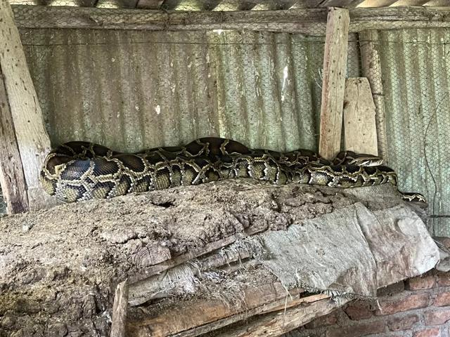 福建5米巨蟒进家吞掉9斤大鹅,村民:惹不起,是国家二级保护动物