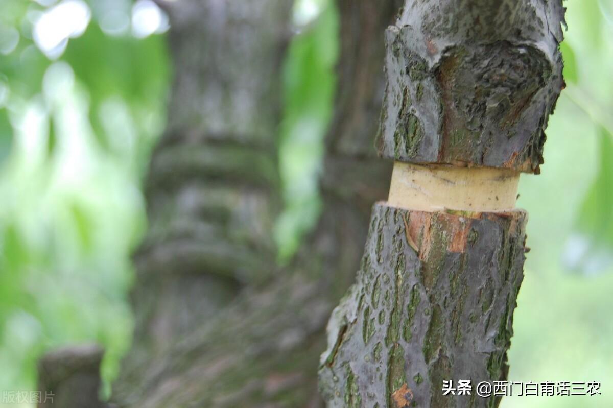 """果樹砍一刀,產量翻倍高,""""砍一刀""""是什麼意思,有何科學道理?"""