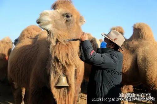 在家也能放牛!北斗定位器帮助牧民开启智能放牧