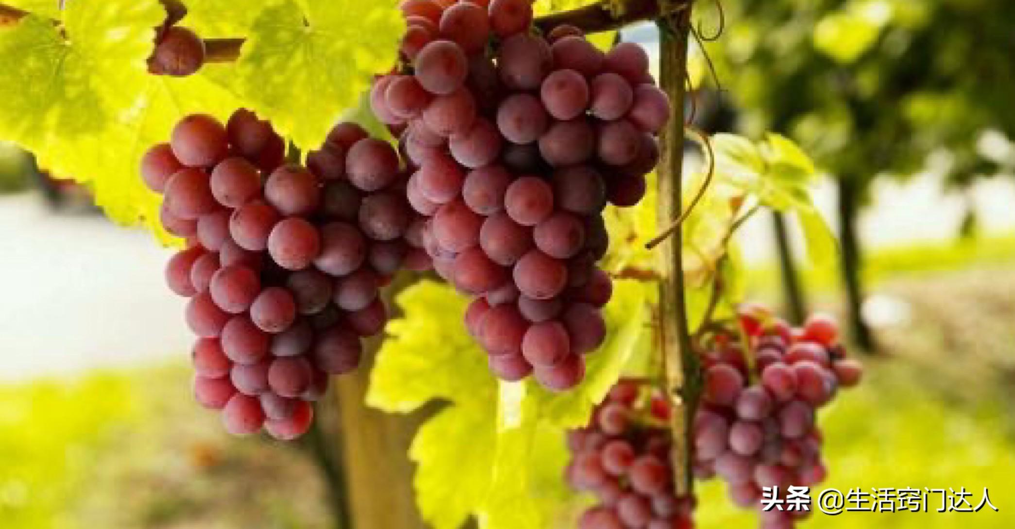 葡萄只用水洗远远不够,教你正确清洗方法,洗完连皮一起吃,学学 葡萄清洗方法 第4张
