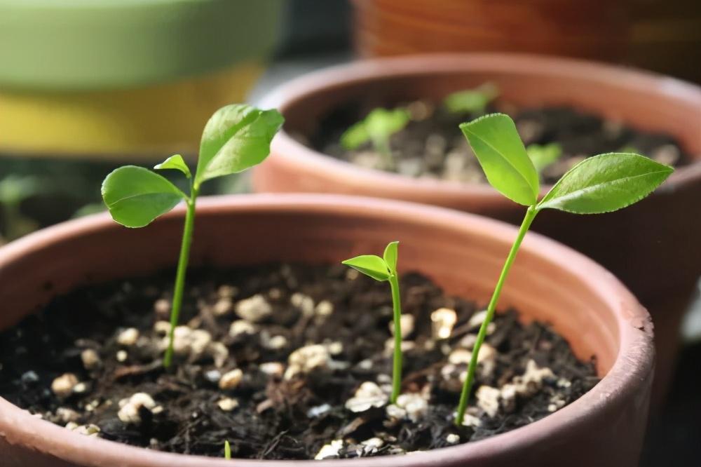 生活小常识:玉米棒子插水里,7天冒出小森林 生活小常识 第37张