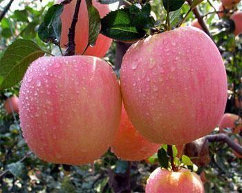 苹果的种植条件、种植技术与管理培植方法