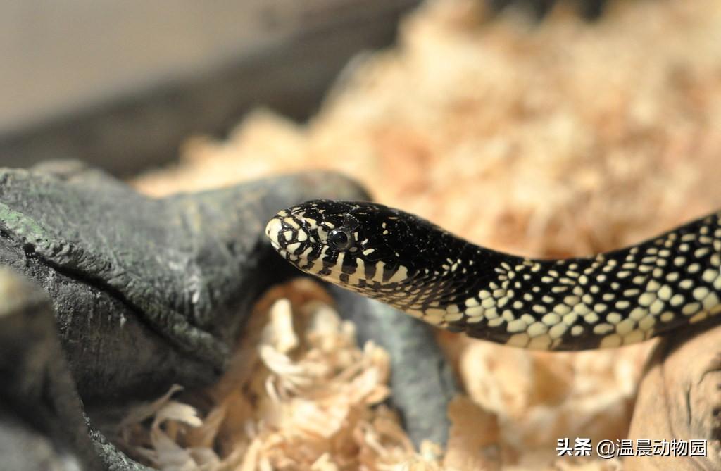 宠物蛇出现拒食现象有这五个原因,严重程度可大可小,但不能忽略