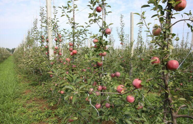苹果树栽培技术|红富士苹果增值技术