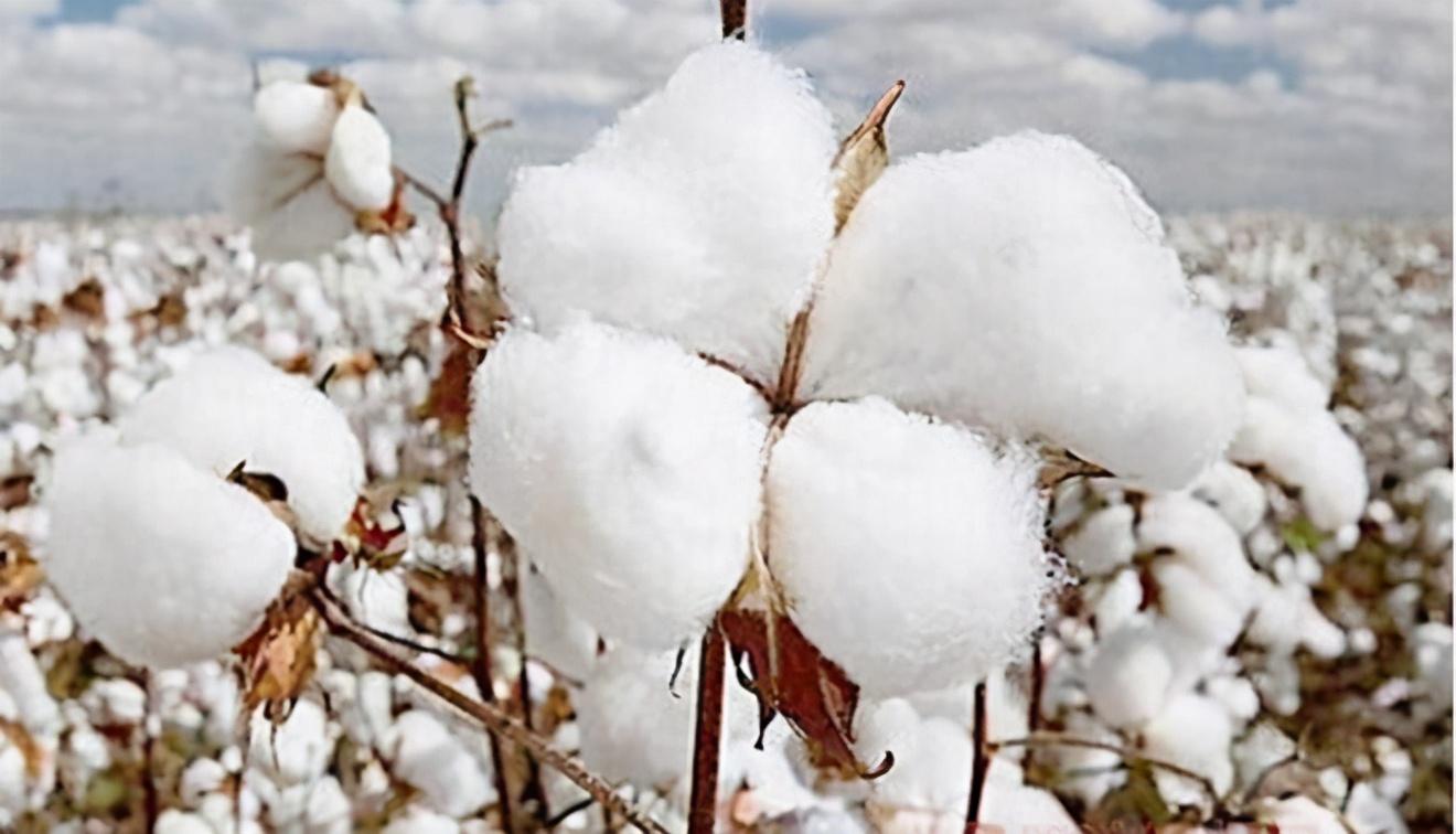 玩火自焚,亚马逊将下架中国棉制品,还记得两年前的杜嘉班纳吗?