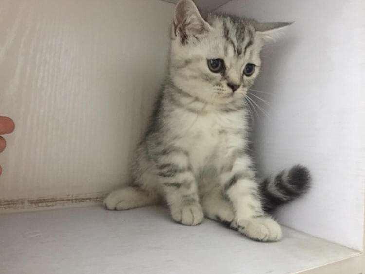 美国短毛猫不止有银色虎斑,还有这6种颜色,你都认识吗?