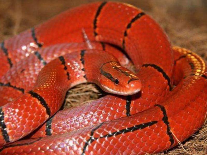 盘点目前很受欢迎的八种美丽宠物蛇,认识2个你都算是厉害了
