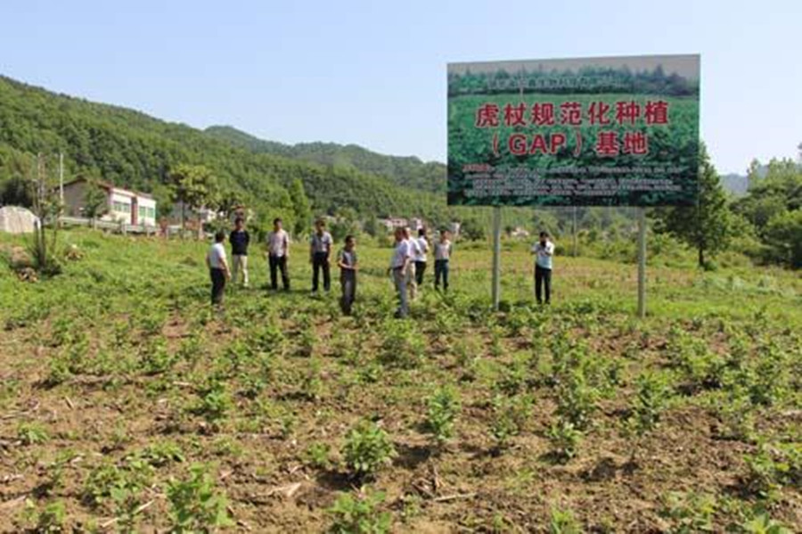 日本虎杖泛滥,入侵多国导致房价暴跌,为何我国还要大量种植?