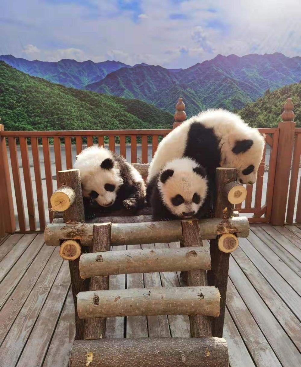 秦韵、秦秀、秦美、秦华 秦岭大熊猫宝宝有名字了