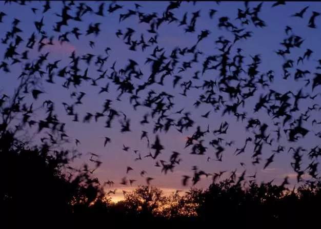 蝙蝠不仅传播病毒,它还是致命的燃烧弹