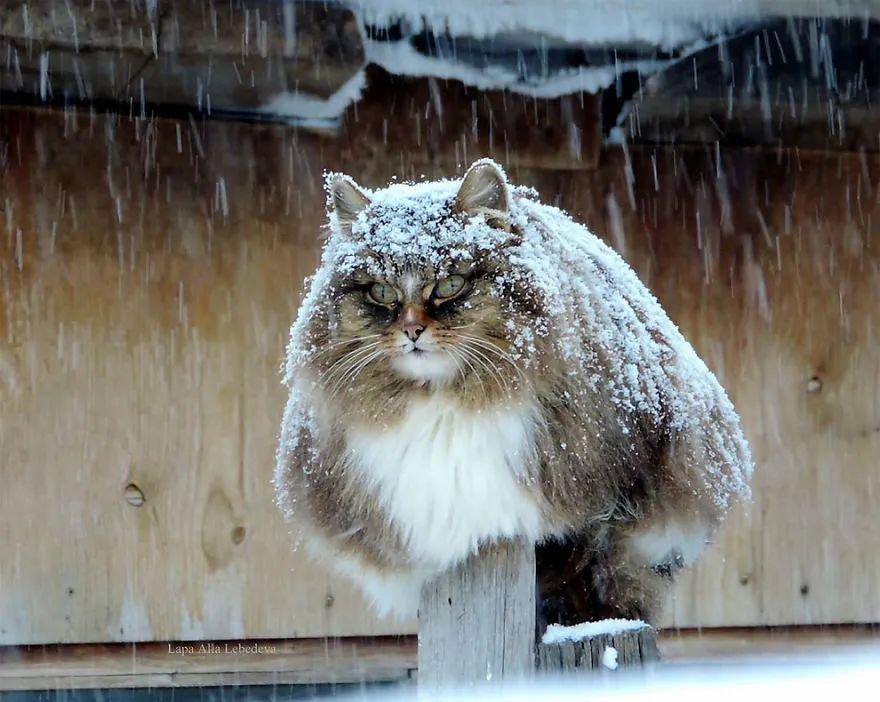 俄國農場的守護者竟然是一群西伯利亞貓? 每天抓老鼠,保護雞和兔