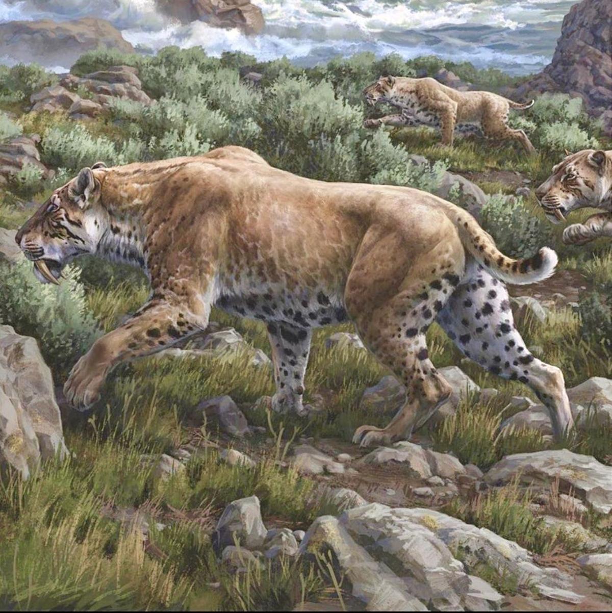 关于剑齿虎的资料和化石图片04