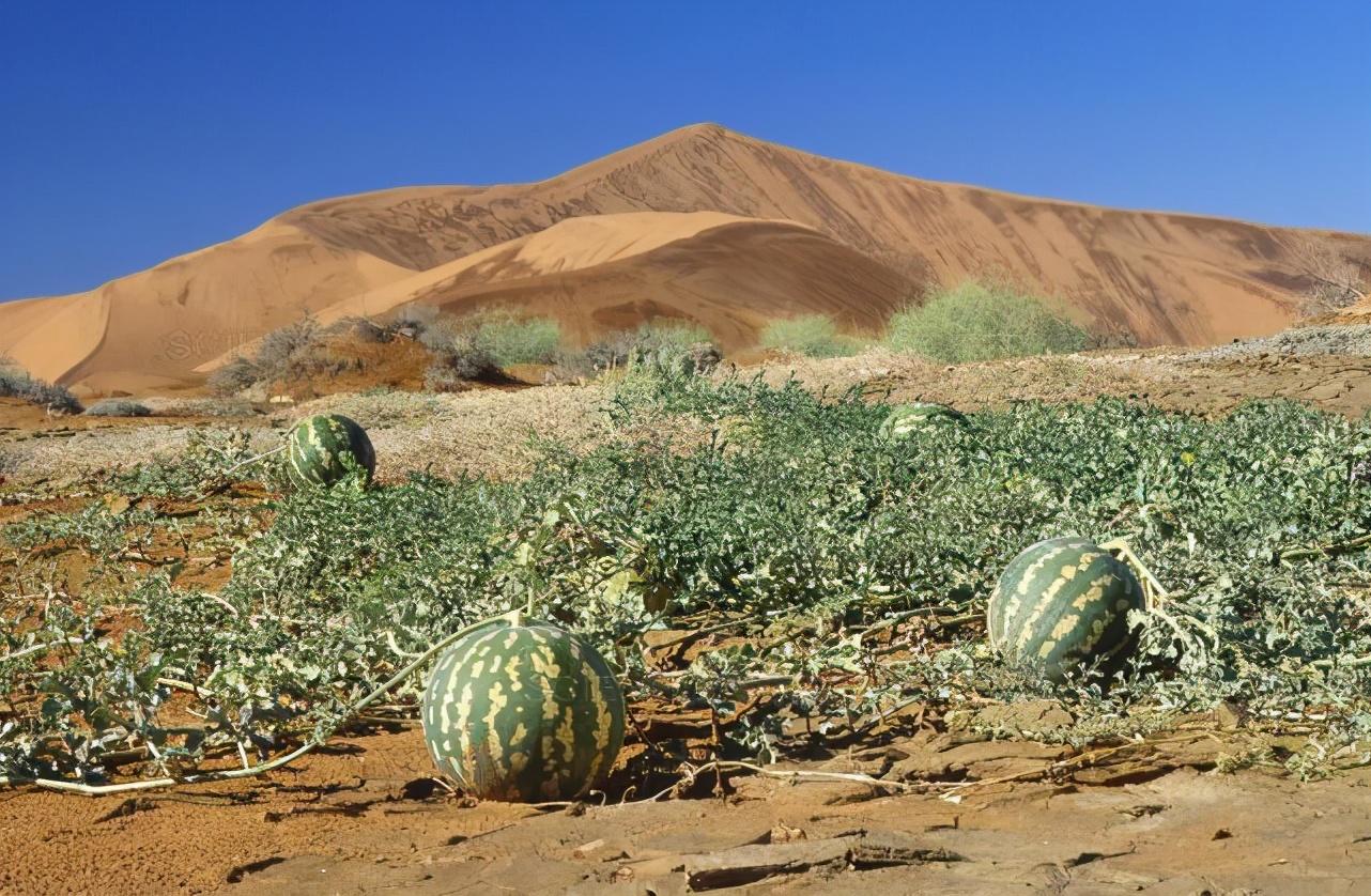 """沙漠里遍地的""""西瓜"""",为什么再渴也无人敢吃,无人敢碰?"""