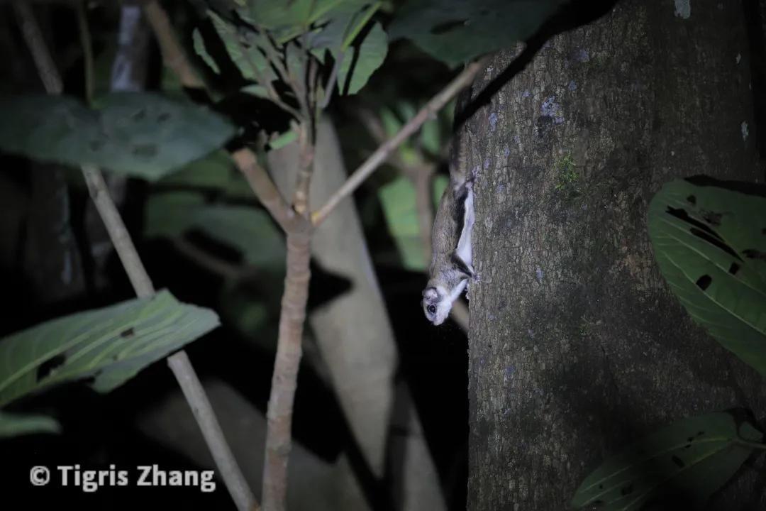 2020盈江观鸟行之二——黄腰响蜜鴷和夜探猫头鹰