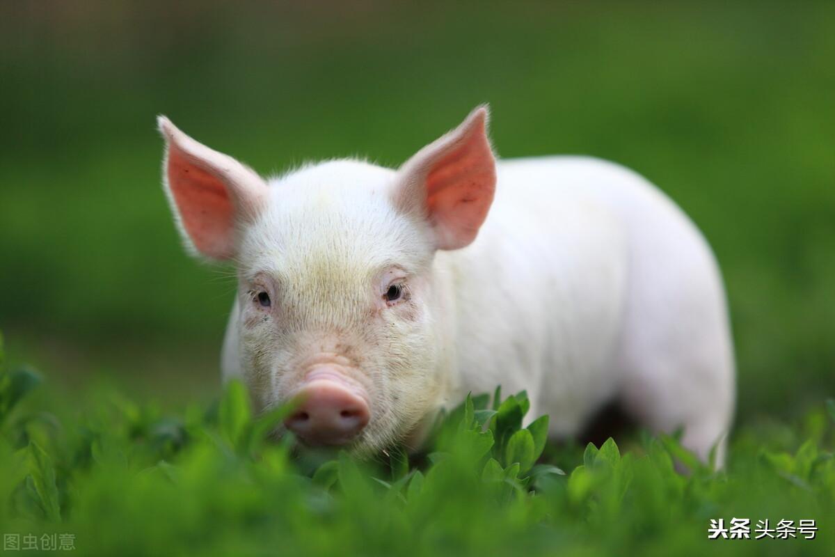 秋季养猪注意事项