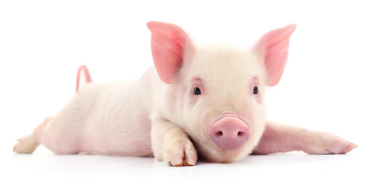 一年吃掉7亿头猪,养猪长达千年的中国怎么就被卡脖子了?