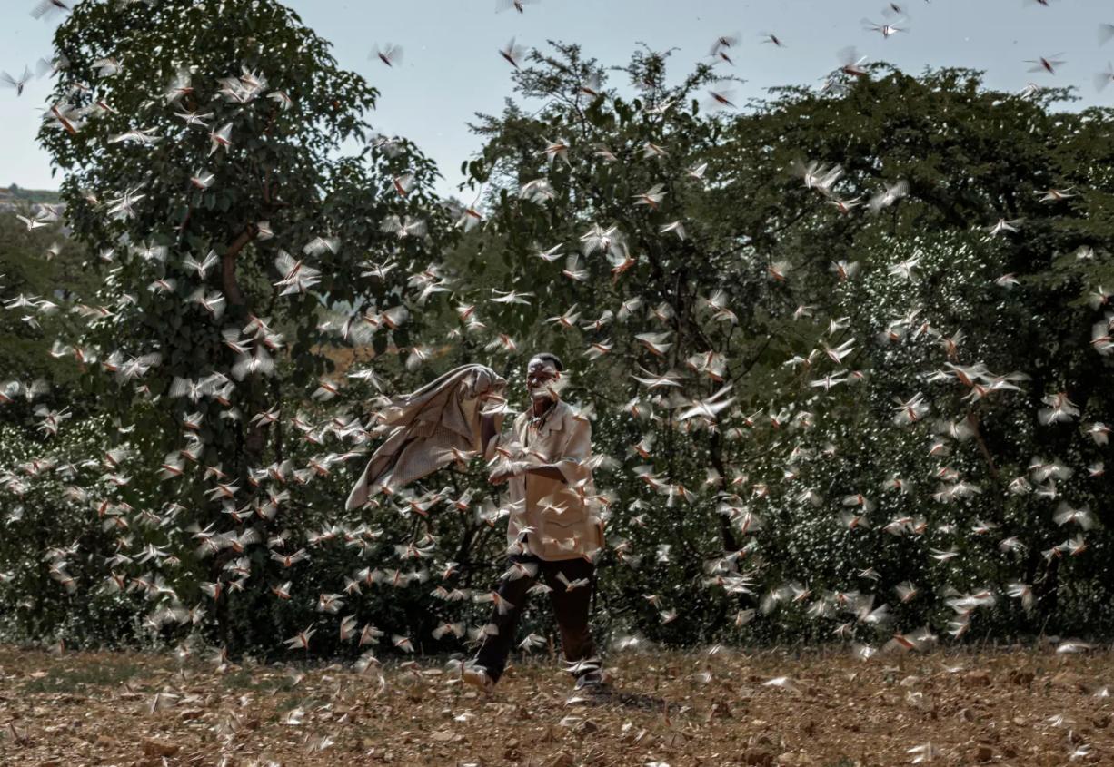 比新冠更具杀伤力?非洲爆发25年最严重蝗灾,100万人面临粮食危机