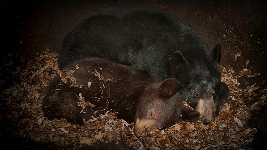 北极熊冬眠吗(北极熊需不需要冬眠)