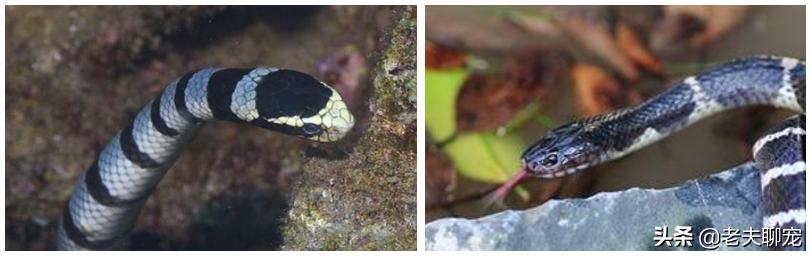 中国十大毒蛇之青环海蛇,毒液毒性有多厉害