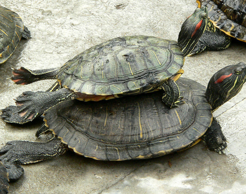 最好養活的動物!養龜怎麽養才不會死掉?平常都吃什麽呢?