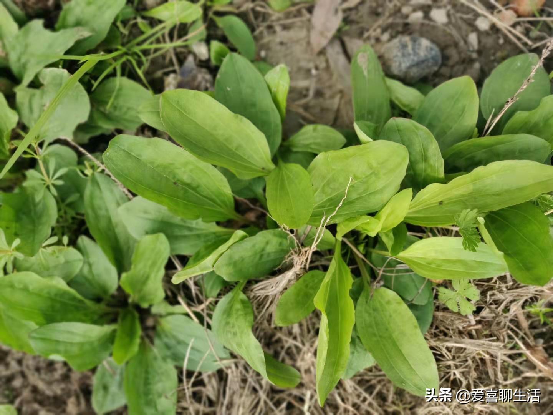 春天,农村到处是车前草,很多人不知道有啥用,剁成馅包馄饨真香 美食做法 第2张