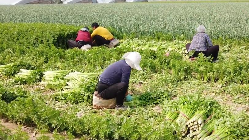 芹菜产量低,施肥有误区?农户别用错,高产的配方要知道